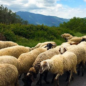 Casa-Magi_About_campania-sheep